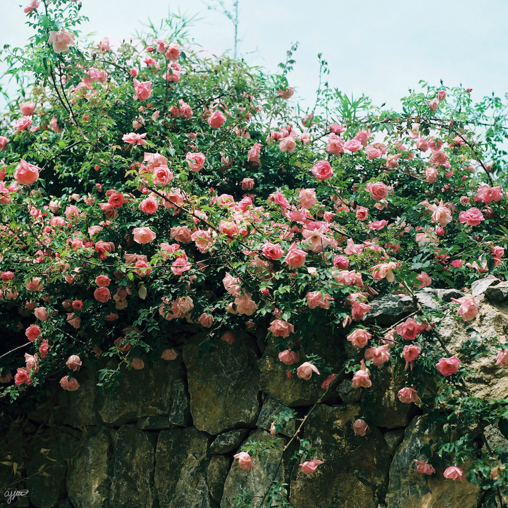 AY010 pink as roses